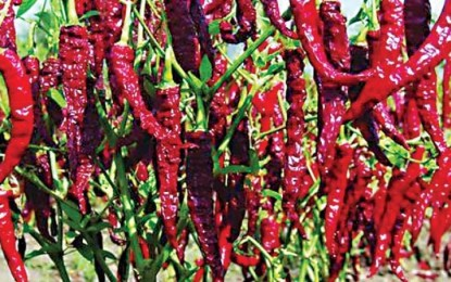 Sales of Guntur chilies affected by GST