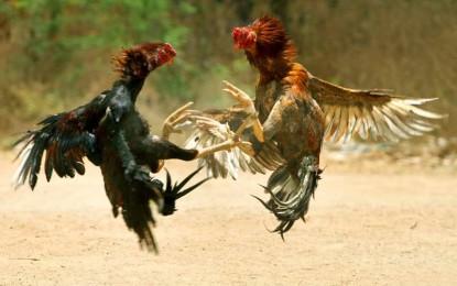 HC directs AP govt to stop cockfights in W Godavari